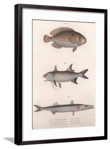 Two-Spot Bimaculus, African Redfin, Common Barracuda, C.1850S--Framed Art Print