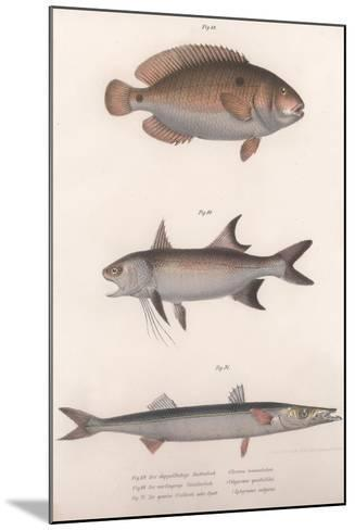 Two-Spot Bimaculus, African Redfin, Common Barracuda, C.1850S--Mounted Giclee Print