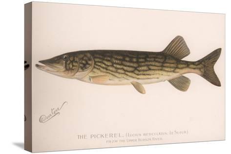 The Pickerel (Lucius Reticulatus. Le Sueu), C.1920S--Stretched Canvas Print
