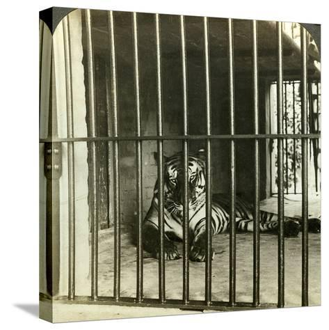 Captured Man-Eating Tiger Blamed for 200 Deaths, Calcutta, India, C1903-Underwood & Underwood-Stretched Canvas Print