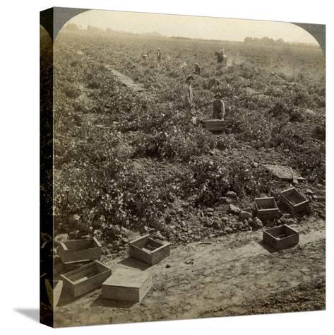 Drying Raisins, Fresno, San Joaquin Valley, California, USA-Underwood & Underwood-Stretched Canvas Print