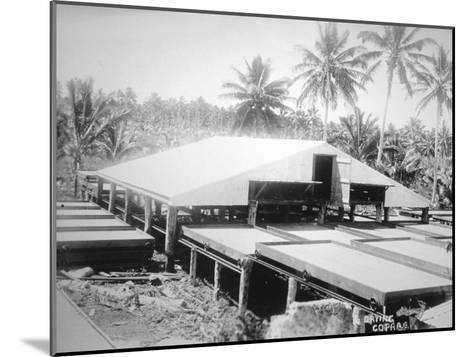 Drying Copra, Solomon Island, Fiji, 1905--Mounted Giclee Print