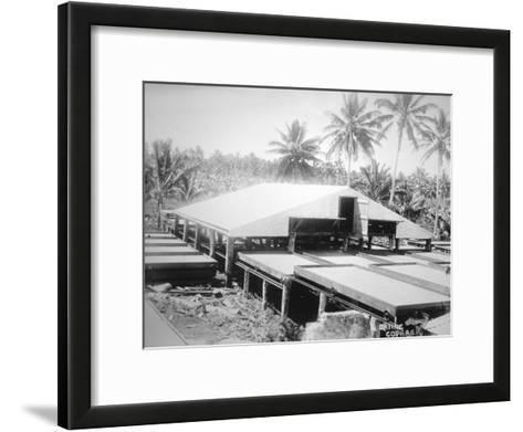 Drying Copra, Solomon Island, Fiji, 1905--Framed Art Print