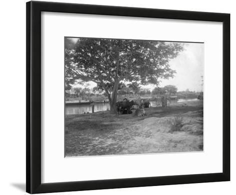 Cattle, Alipore, India, 1905-1906-FL Peters-Framed Art Print