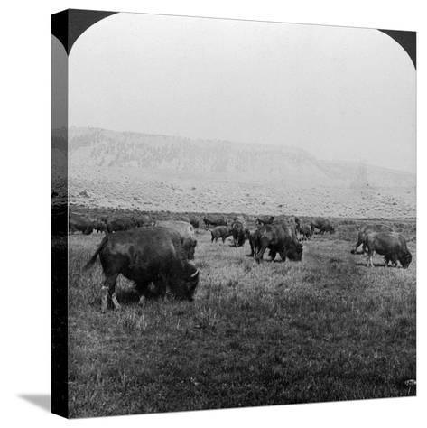 Buffalo, Yellowstone National Park, Usa-HC White-Stretched Canvas Print