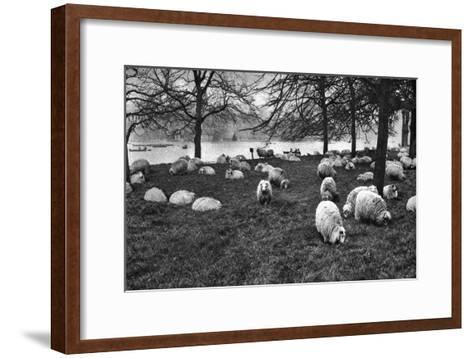 Scottish Sheep by the Serpentine, Hyde Park, London, 1926-1927--Framed Art Print