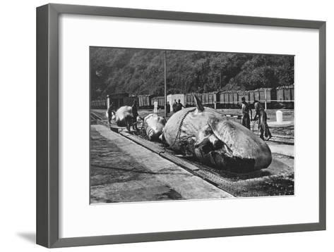 Handling Whales at the Bluff, Durban, South Africa--Framed Art Print