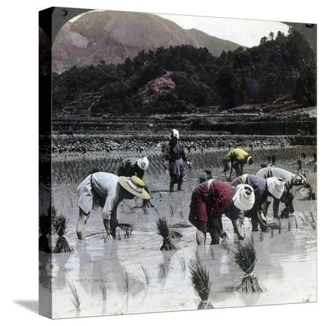 Transplanting Rice in a Paddy Field, Japan, 1904-Underwood & Underwood-Stretched Canvas Print
