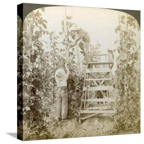 In the Rich Hop District, Training the Vines, White River Valley, Washington, USA-Underwood & Underwood-Stretched Canvas Print