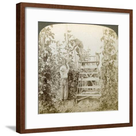 In the Rich Hop District, Training the Vines, White River Valley, Washington, USA-Underwood & Underwood-Framed Art Print