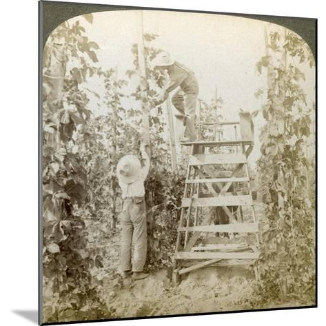 In the Rich Hop District, Training the Vines, White River Valley, Washington, USA-Underwood & Underwood-Mounted Giclee Print