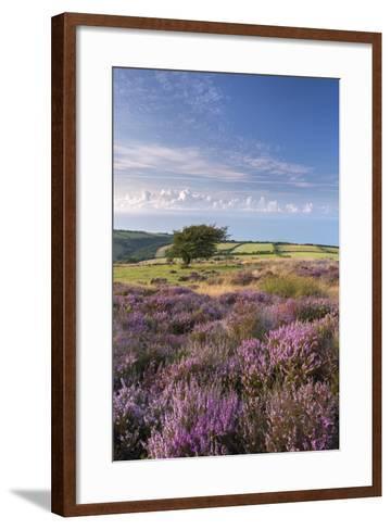 Heather in Flower on Porlock Common, Exmoor National Park, Somerset, England. Summer (August)-Adam Burton-Framed Art Print