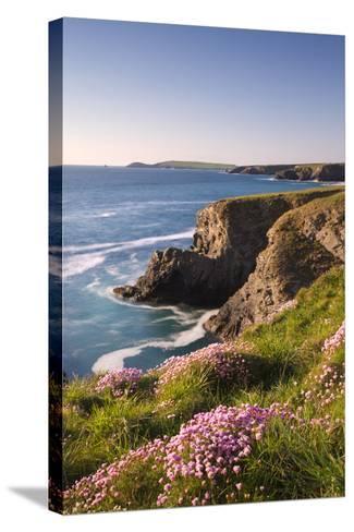 Flowering Sea Thrift (Armeria Maritima) on the Cornish Clifftops Near Porthcothan, Cornwall-Adam Burton-Stretched Canvas Print