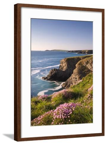 Flowering Sea Thrift (Armeria Maritima) on the Cornish Clifftops Near Porthcothan, Cornwall-Adam Burton-Framed Art Print