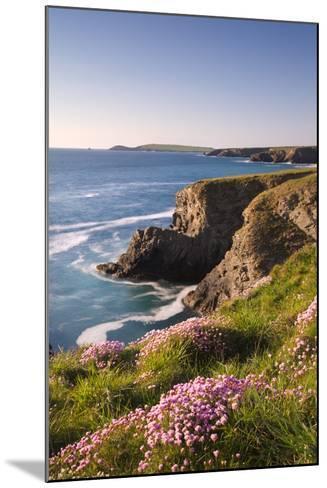 Flowering Sea Thrift (Armeria Maritima) on the Cornish Clifftops Near Porthcothan, Cornwall-Adam Burton-Mounted Photographic Print