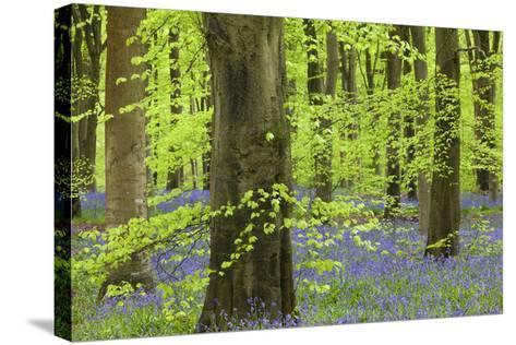 Bluebell Carpet in a Beech Woodland, West Woods, Lockeridge, Wiltshire, England. Spring-Adam Burton-Stretched Canvas Print