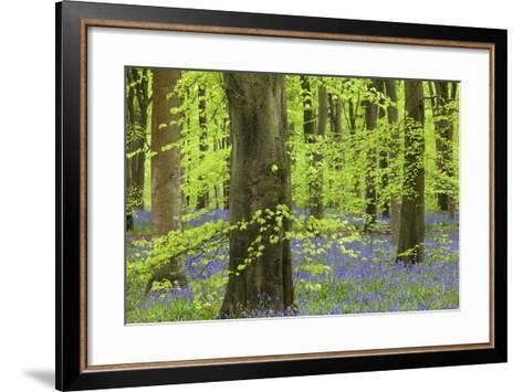 Bluebell Carpet in a Beech Woodland, West Woods, Lockeridge, Wiltshire, England. Spring-Adam Burton-Framed Art Print