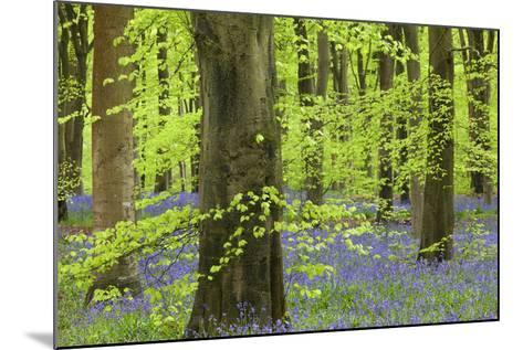 Bluebell Carpet in a Beech Woodland, West Woods, Lockeridge, Wiltshire, England. Spring-Adam Burton-Mounted Photographic Print