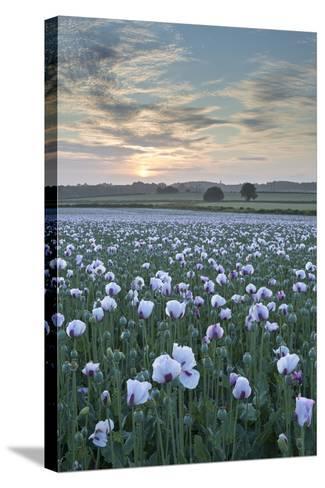 Opium Poppies Flowering in a Dorset Field, Dorset, England. Summer (July)-Adam Burton-Stretched Canvas Print