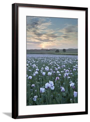 Opium Poppies Flowering in a Dorset Field, Dorset, England. Summer (July)-Adam Burton-Framed Art Print