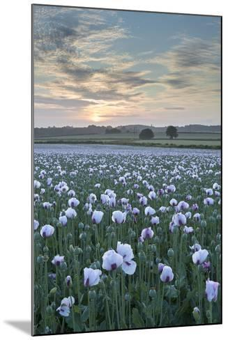 Opium Poppies Flowering in a Dorset Field, Dorset, England. Summer (July)-Adam Burton-Mounted Photographic Print