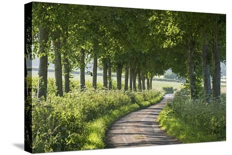 Winding Tree Lined Country Lane, Dorset, England. Summer (July)-Adam Burton-Stretched Canvas Print