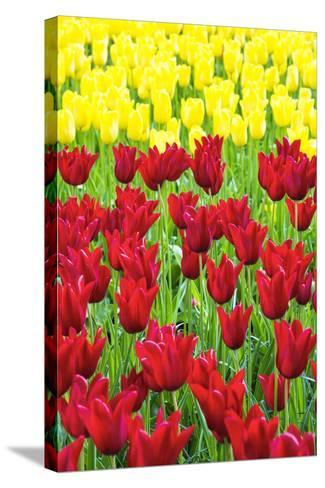 Tulips at KeUKenhof Gardens, Duin- En Bollenstreek, the Netherlands-Nadia Isakova-Stretched Canvas Print