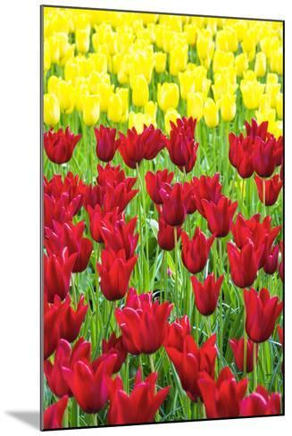 Tulips at KeUKenhof Gardens, Duin- En Bollenstreek, the Netherlands-Nadia Isakova-Mounted Photographic Print
