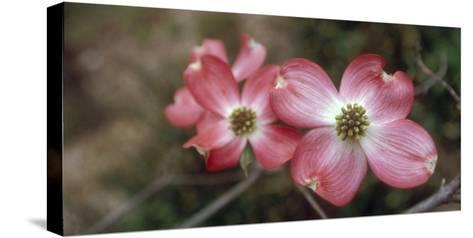 Pink Dogwood Blooms-Anna Miller-Stretched Canvas Print