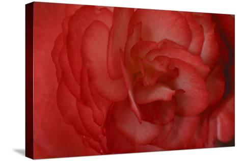 Red Begonia Abstract-Anna Miller-Stretched Canvas Print