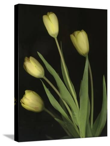 Tulips on Black Background-Anna Miller-Stretched Canvas Print