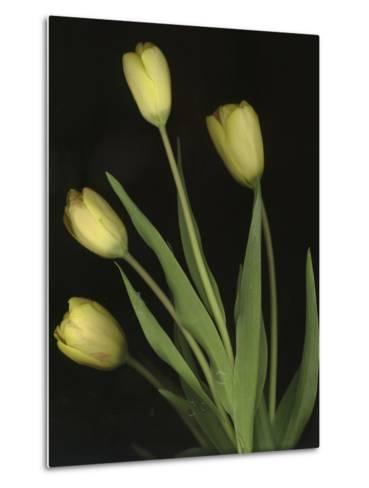 Tulips on Black Background-Anna Miller-Metal Print
