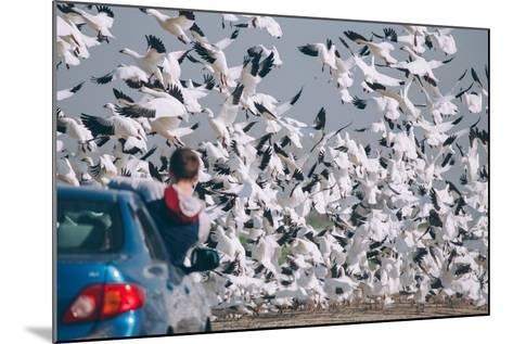 Snowbound, Snow Geese at Merced Wildlife Refuge--Mounted Photographic Print
