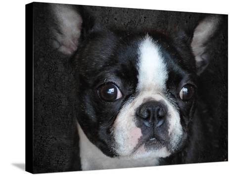 Boston Terrier Portrait-Jai Johnson-Stretched Canvas Print