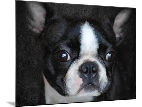 Boston Terrier Portrait-Jai Johnson-Mounted Giclee Print