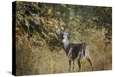 Buck in Autumn-Jai Johnson-Stretched Canvas Print
