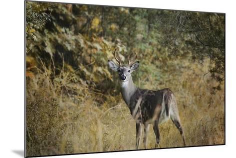 Buck in Autumn-Jai Johnson-Mounted Giclee Print