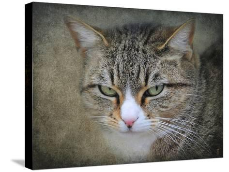 Gray Tabby Cat Portrait-Jai Johnson-Stretched Canvas Print