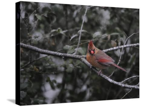 First Day of Snow-Jai Johnson-Stretched Canvas Print