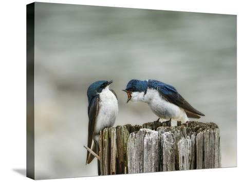 Angry Swallows-Jai Johnson-Stretched Canvas Print