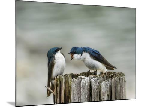 Angry Swallows-Jai Johnson-Mounted Giclee Print