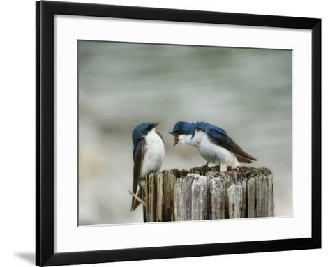 Angry Swallows-Jai Johnson-Framed Art Print