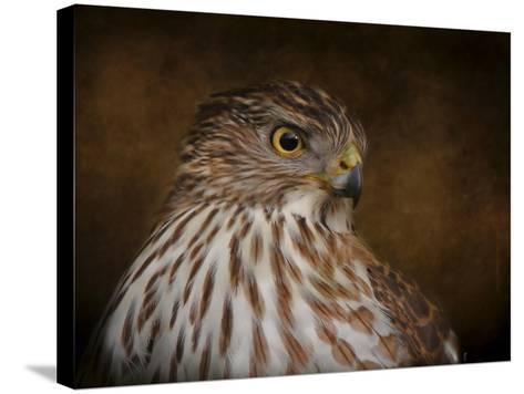 Coopers Hawk Portrait 2-Jai Johnson-Stretched Canvas Print