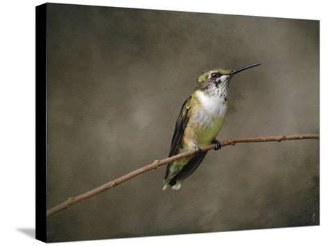 Hummingbird Portrait-Jai Johnson-Stretched Canvas Print