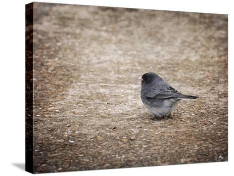 Tiny Junco in a Big World-Jai Johnson-Stretched Canvas Print