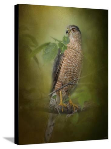Sharp Shinned Hawk-Jai Johnson-Stretched Canvas Print