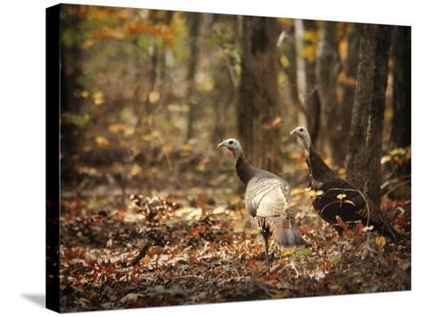 Wild Turkey in the Woods-Jai Johnson-Stretched Canvas Print