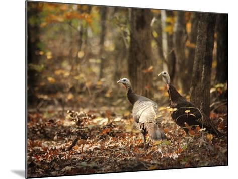 Wild Turkey in the Woods-Jai Johnson-Mounted Giclee Print