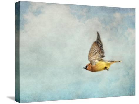 Winter Flight Cedar Waxwing-Jai Johnson-Stretched Canvas Print