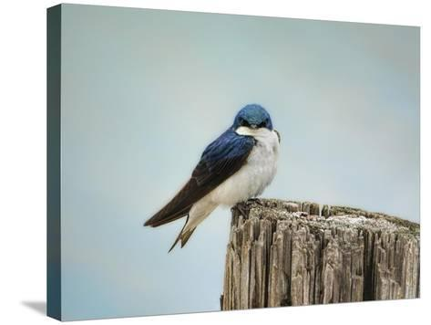 Perched and Waiting-Jai Johnson-Stretched Canvas Print